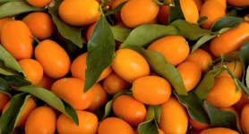 kumquat-resized